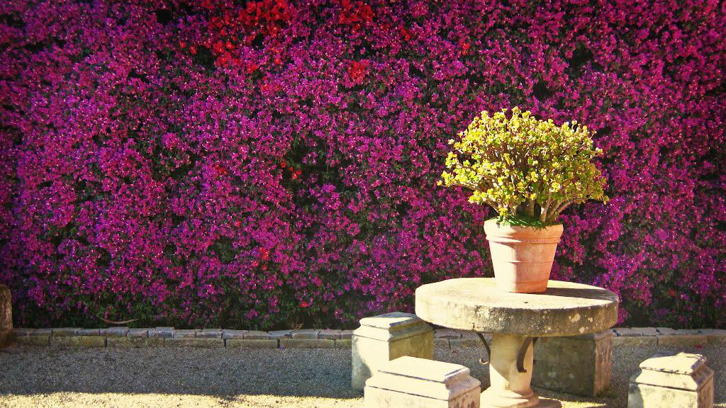 Buganvilla - Plantas de Exterior y Color en tu Jardín