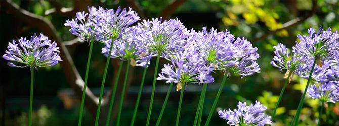 Jardineria ornamental: Agapanthus, Textura y Elegancia