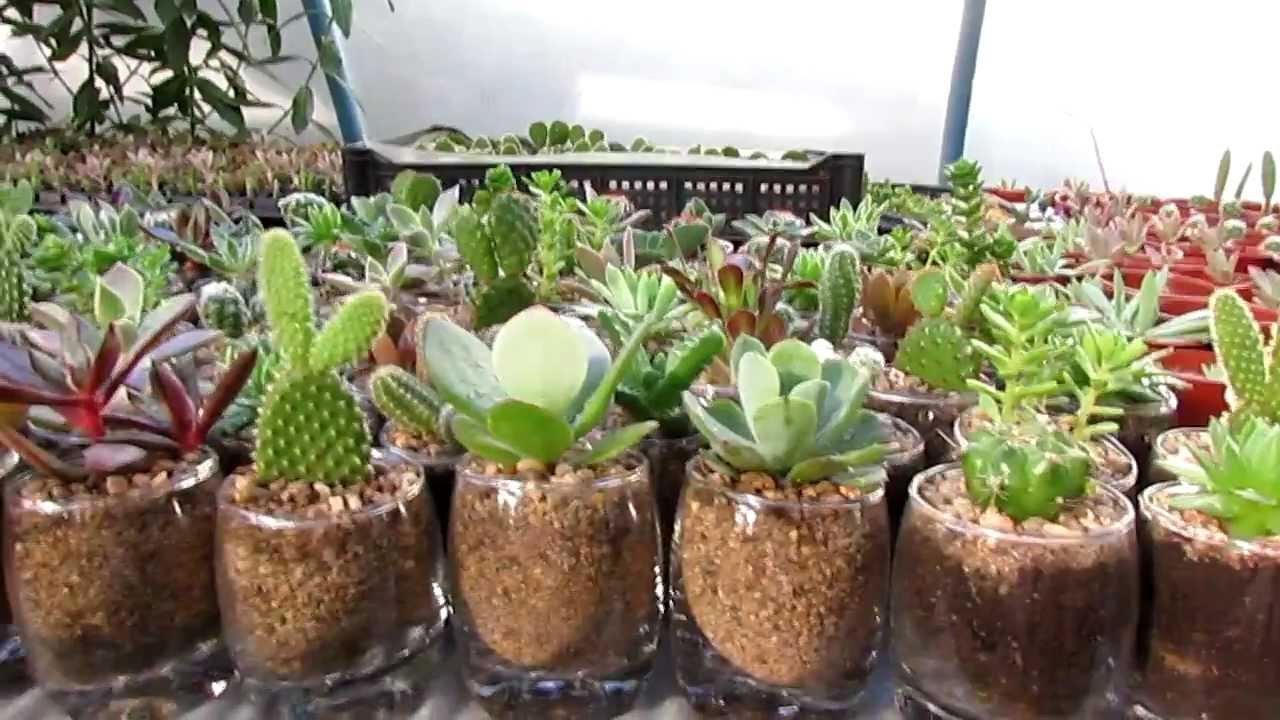 cactus en pecera